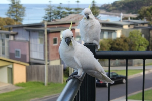Our view of the ocean is lovely and the very friendly cockatoos add to the ambiance.