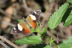 Could this be a Harlequin Metalmark butterly?