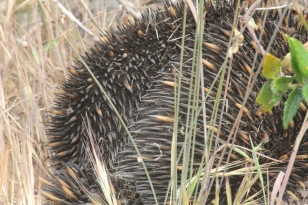 The burrowing echidna