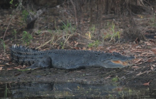 Warming and staying cool - the crocodile getting the first rays of the sun to warm up but the mouth is open to also keep cool