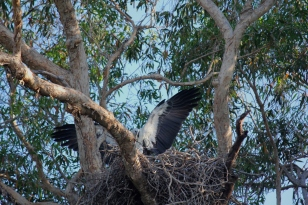 The Sea Eagle building the nest - like its not big enough already.