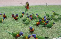 Rainbow Lorikeets came from everywhere for a piece of apple.