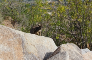 Allied Rock Wallaby