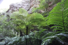 Ward Canyon - Giant Tree-ferns