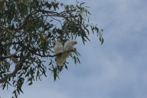 A couple of curious Corellas'